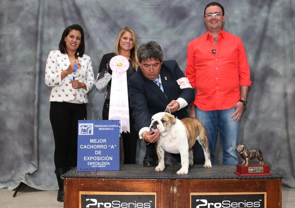 HAWK gana mejor cachorro A de exposición en la especializada de Bulldog Inglés