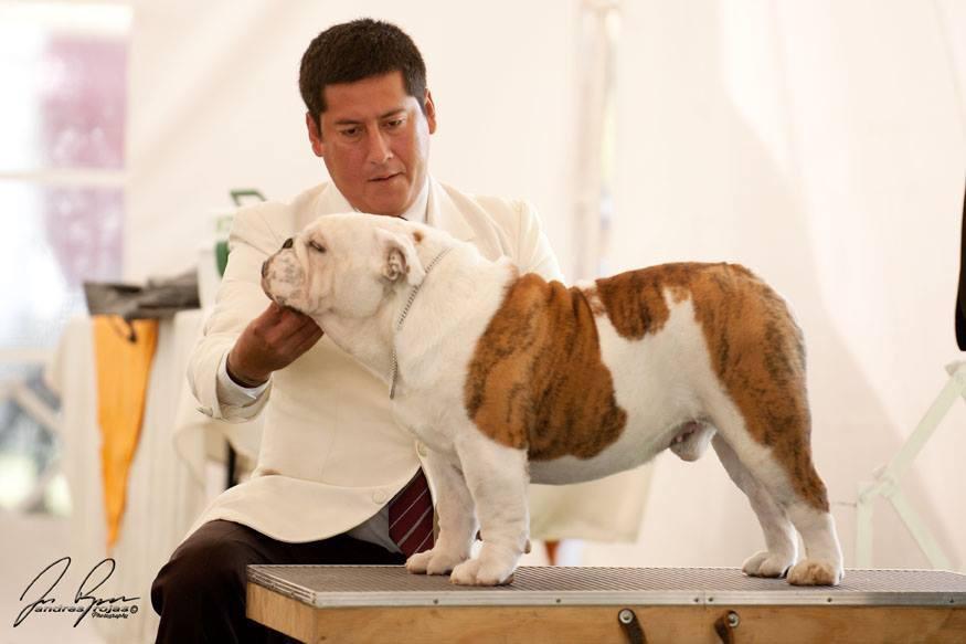 Como elegir un semental Bulldog Ingles