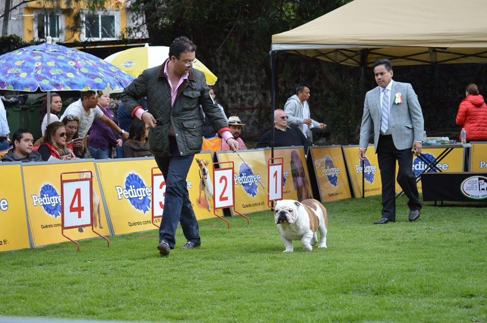 Como se puede hacer un perro campeón mexicano y cuales son los requisitos para hacer un perro campeón mexicano