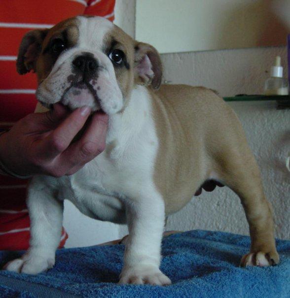 Crianza del Bulldog